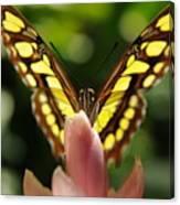 peeking Butterfly Canvas Print