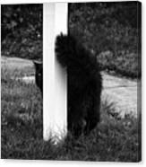 Peeking Kitty Black And White Canvas Print