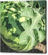 Peeking Watermelon Canvas Print