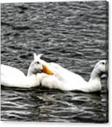 Pekin Ducks Canvas Print