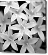 Pelargonium Graveolens Canvas Print