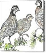 Pelham Quail Canvas Print