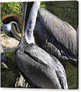 Pelican Duo Canvas Print