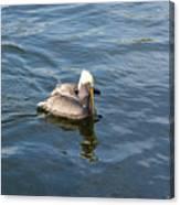Pelican Eating Dinner Canvas Print