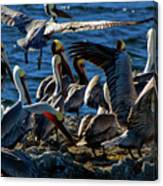 Pelican Fiesta Canvas Print