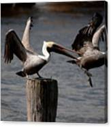 Pelican Fight Canvas Print