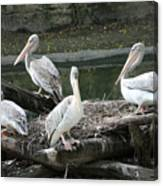Pelican Grouping Canvas Print
