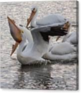 Pelican Having Supper Canvas Print