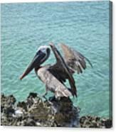 Pelican In Aruba Landing On Lava Rock Canvas Print