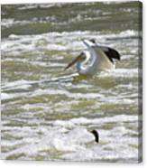 Pelican Landing And Cormorants Canvas Print