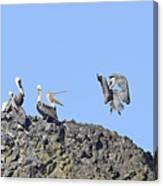 Pelican Landing On A Rock Canvas Print