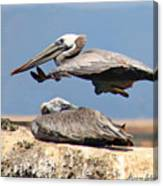 Pelican Leap Frog Canvas Print