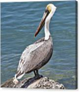 Pelican On Rock Canvas Print