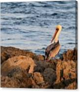 Pelican On The Rocks Canvas Print