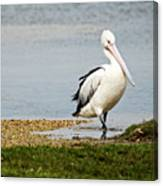 Pelican Pose Canvas Print