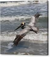 Pelican Soaring  Canvas Print