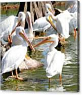 Pelican Squabble Canvas Print