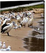 Pelicans At Pearl Beach 1.0 Canvas Print