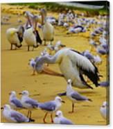 Pelicans At Pearl Beach 3.1 Canvas Print