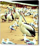 Pelicans At Pearl Beach 4.1 Canvas Print