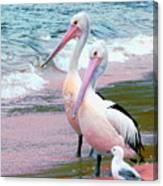 Pelicans At Pearl Beach 5.1 Canvas Print