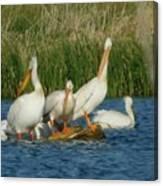 Pelicans Being Pelicans Canvas Print