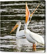 Pelicans Fishing Canvas Print