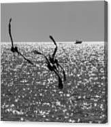 Pelicans Flying By - Black And White Canvas Print