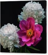 Peonies - Beautiful Flowers - On The Right Is One Of The First Places Among The Garden Perennials Canvas Print