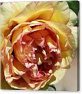 peony 19 Pale Yellow and Pink Tree Peony macro Canvas Print