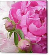 Peony Pair In Pink And White  Canvas Print