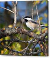 Perched Black-capped Chickadee Canvas Print