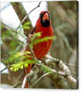 Perched Cardinal Canvas Print