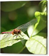 Perched Dragonfly Canvas Print