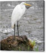 Perched Great Egret Canvas Print