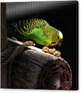 Perched Parakeet Canvas Print