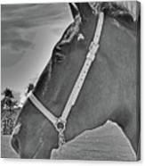 Percheron Profile Canvas Print