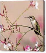 Perching Ruby-throated Hummingbird Canvas Print