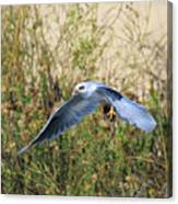 Peregrine Falcon Trips Canvas Print