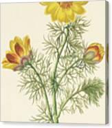 Perennial Adonis Canvas Print