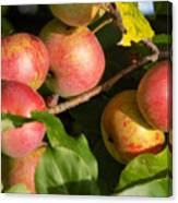 Perfect Apples Canvas Print