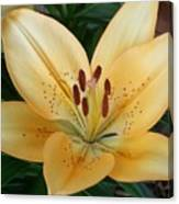 Perfect Butter Lilly Canvas Print