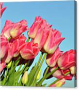 Perfect Pink Tullips Canvas Print