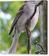 Perfect Profile - Chipping Sparrow Canvas Print