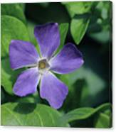 Perfect Purple Periwinkle Canvas Print