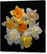 Perfect Ring Of Daffodils Canvas Print