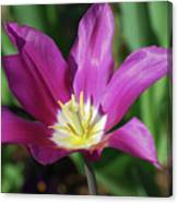 Perfect Single Dark Pink Tulip Flower Blossom Blooming Canvas Print