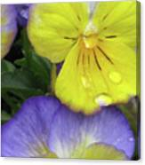 Perfectly Pansy 11 Canvas Print