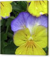 Perfectly Pansy 12 Canvas Print