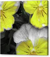 Perfectly Pansy 13 - Bw - Yellow Canvas Print